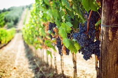 Tuscan vineyard with red grapes. Royalty Free Stock Images