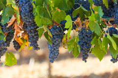 Tuscan vineyard with red grapes. Stock Images