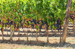 Tuscan vineyard with red grapes. Royalty Free Stock Image