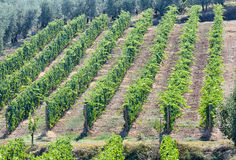 Tuscan vineyard with red grapes. Stock Image
