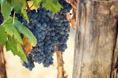 Tuscan vineyard with red grapes. Stock Photo
