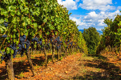 Tuscan Vineyard Royalty Free Stock Photo