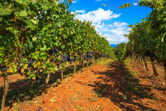 Tuscan Vineyard Royalty Free Stock Images