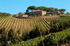 Vineyard in Tuscany. Rows of grapes growing on a hillside vineyard in Montalcino, Tuscany, Italy stock photo