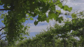 Tuscan vineyard 3. Shooting of the Tuscan countryside with a vineyard stock video