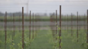 Tuscan vineyard 2. Shooting of the Tuscan countryside with a vineyard stock video footage