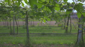 Tuscan vineyard 2. Shooting of the Tuscan countryside with a vineyard stock footage