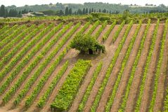 Tuscan vineyard with small house stock photography