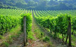 Free Tuscan Vineyards In Italy Stock Photography - 15191562