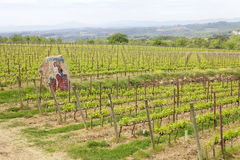 Tuscan vineyards stock photos
