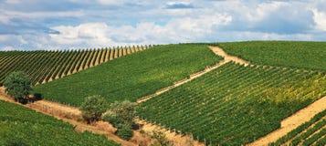 Tuscan vineyards in sun. Stock Photos