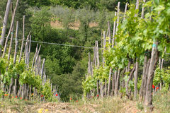 Tuscan Vinyard. Grape vines in the Tuscan hills, Italy, with an olive grove in the background royalty free stock photo
