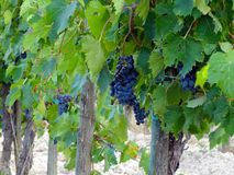 Tuscan Wine Grapes Royalty Free Stock Image