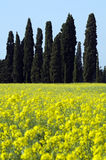 Tuscany. Cypress trees on yellow field in Tuscany - Italy Stock Images