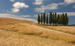 Tuscany. A group of typical cypress in the tuscan region Royalty Free Stock Photos