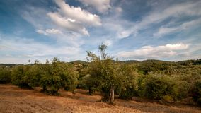 Tuscany. Beautiful olive trees with the clouds passing in the blue sky. stock video footage