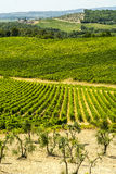 Tuscany - Chianti vineyards and olive trees, Stock Images