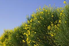 TUSCANY countryside, close-up of blooming bush. Summer countryside in Tuscany, close-up of blooming bush Royalty Free Stock Photography