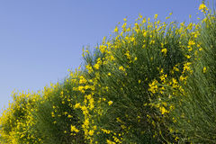 Free TUSCANY Countryside, Close-up Of Blooming Bush Royalty Free Stock Photography - 6307317
