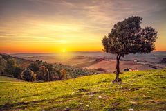 Tuscany countryside panorama and windy olive tree on sunset. Pis. Tuscany countryside panoramic view, lonely windy olive tree, rolling hills and green fields on Royalty Free Stock Image