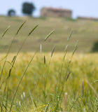 Tuscany Countryside, Spikes Stock Images