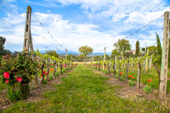 Tuscany Countryside. Tuscany Vine Countryside at Spring time Royalty Free Stock Image