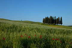 Tuscany - Cypress. Group of cypress in beautiful Tuscan landscape Stock Images