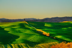 Tuscany, cypress tree on hill and green fields on sunset. Siena. Royalty Free Stock Image