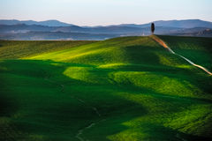 Tuscany, cypress tree on hill and green fields on sunset. Siena Royalty Free Stock Photo