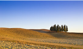 Tuscany cypresses. In a field of wheat at the sunset Royalty Free Stock Photo