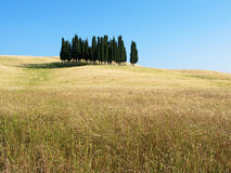 Tuscany cypresses. In a field of wheat Stock Photography