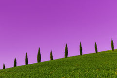 Tuscany cypresses row pink Royalty Free Stock Photo
