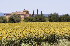 Tuscany farm and sunflowers Royalty Free Stock Images