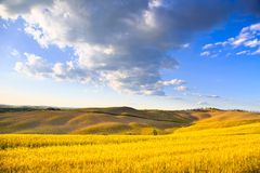 Tuscany, farmland, wheat and green fields. Pienza, Italy. Tuscany, farmland, wheat and cypress trees country landscape, green fields. Pienza, Italy, Europe Stock Photography