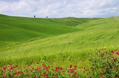 Tuscany field and cypress tree Royalty Free Stock Photo