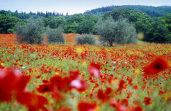 Tuscany, field of poppy. Poppy flowers and olive in the tuscany country Royalty Free Stock Photos