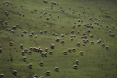 Tuscany - Grazing sheep Stock Photo