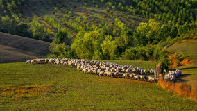 Tuscany - grazing sheep, hills and meadow, Toscana - Italy Royalty Free Stock Images