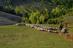 Tuscany - grazing sheep, hills and meadow Royalty Free Stock Photo