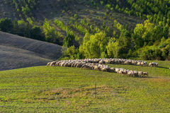 Tuscany - grazing sheep, hills and meadow Royalty Free Stock Image