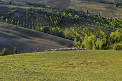 Tuscany - grazing sheep, hills and meadow Royalty Free Stock Photography