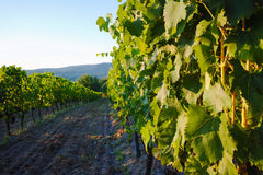 Tuscany hills vineyards, Italy Stock Photos