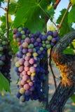 Tuscany hills vineyards, Italy Stock Image