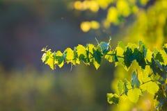 Tuscany hills vineyards, Italy Stock Photography