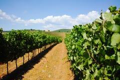 Tuscany hills vineyards, Italy Royalty Free Stock Photography