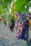 Tuscany hills vineyards, Italy Stock Images