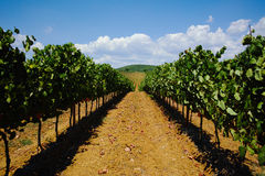 Tuscany hills vineyards, Italy Royalty Free Stock Photo