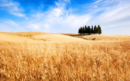 Tuscany, Italy. Cypress trees and oat fields in Tuscany, Italy stock image