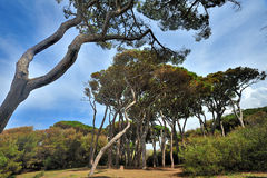 Tuscany, Italy, pines in Baratti gulf Royalty Free Stock Images