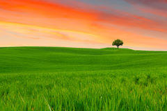 Free Tuscany Landscape, Beautiful Green Hills And Lonely Tree Springt Royalty Free Stock Photography - 86651407